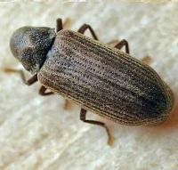 Adult Woodworm Beetle